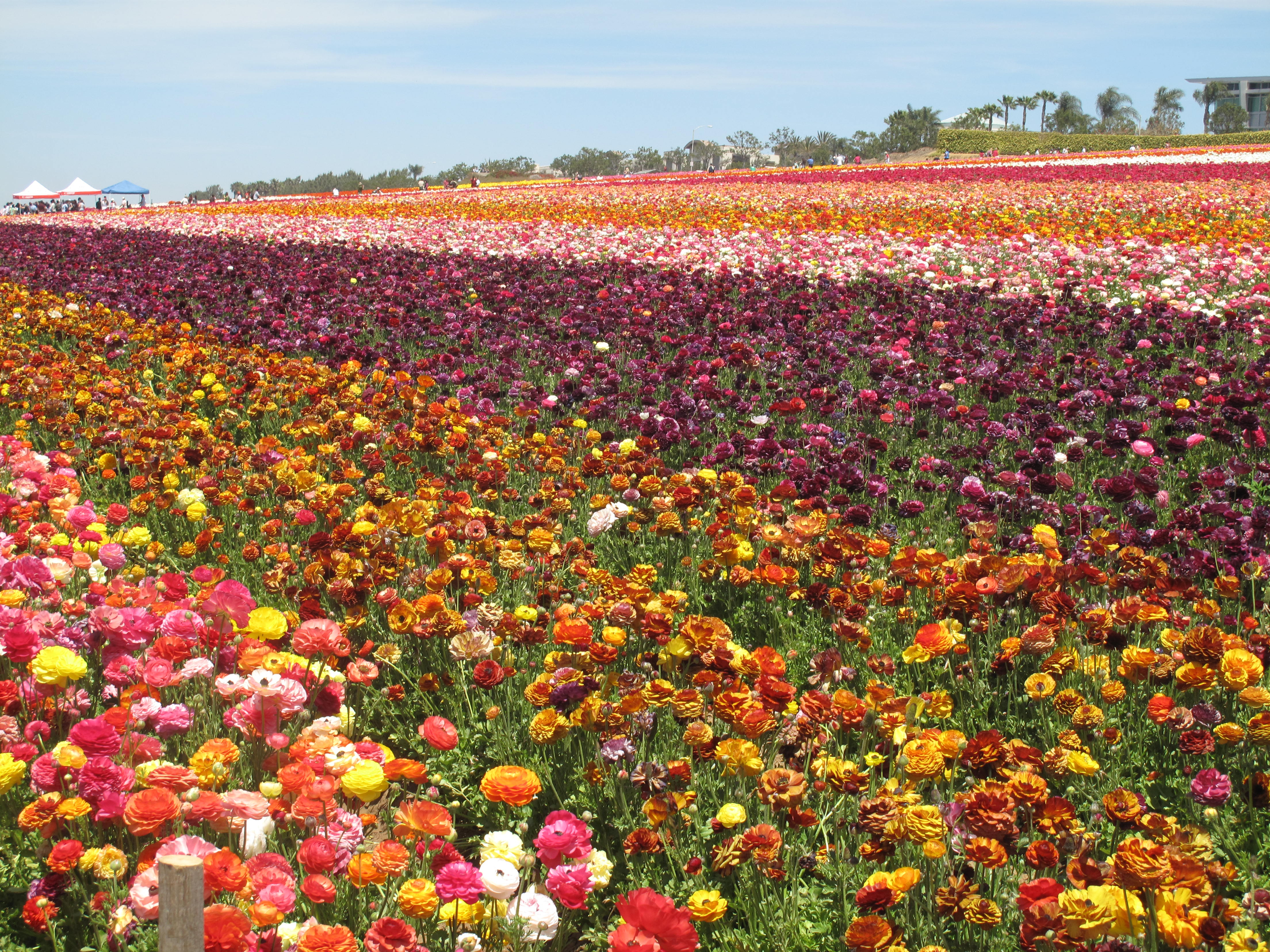 Flower Fields Wallpapers s Backgrounds