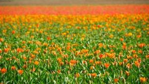 Flower Fields For Desktop