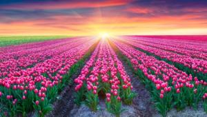 Flower Fields For Desktop Background