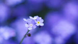 Forget Me Not Flower Background