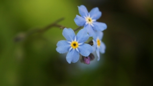 Forget Me Not Flower Desktop