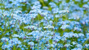 Forget Me Not Flower High Quality Wallpapers
