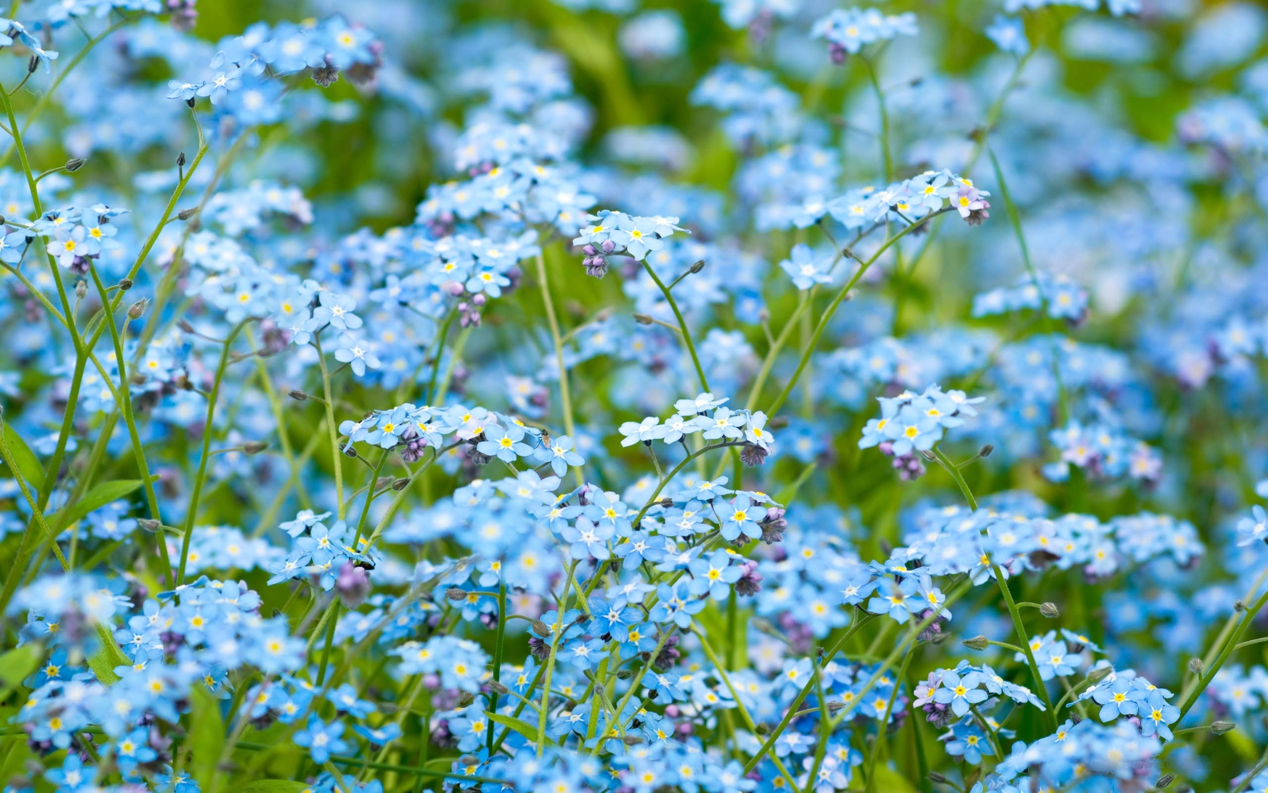 forget me not flower wallpapers images photos pictures backgrounds. Black Bedroom Furniture Sets. Home Design Ideas