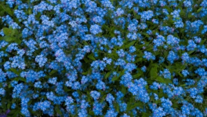 Forget Me Not Flower Photos