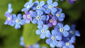 Forget Me Not Flower Wallpapers Hd