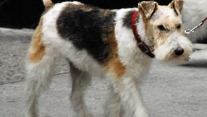 Fox Terrier Full Hd