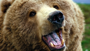 Grizzly Bear Hd