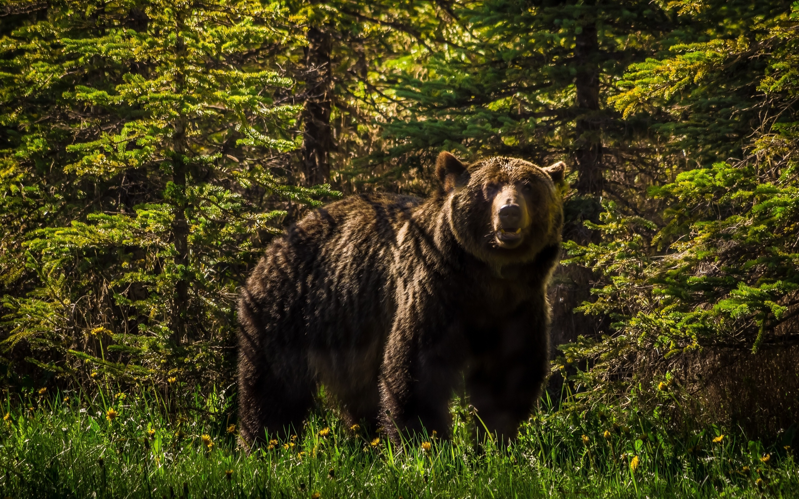 How To Do A Wall Mural Grizzly Bear Wallpapers Images Photos Pictures Backgrounds