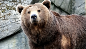 Grizzly Bear High Definition Wallpapers