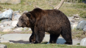 Grizzly Bear Images