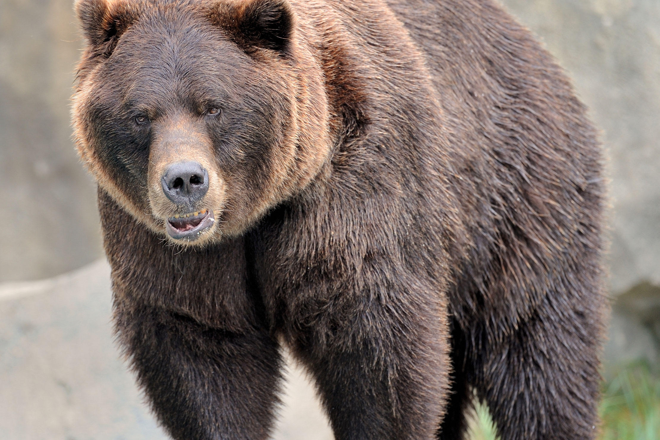 the grizzly bear The interagency grizzly bear committee has coordinated grizzly bear population  recovery policy, planning, management and research for over 30 years.