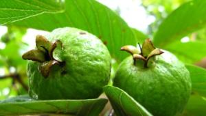 Guava Widescreen