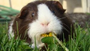 Guinea Pig Background