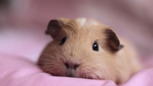 Guinea Pig Desktop