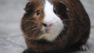 Guinea Pig High Quality Wallpapers