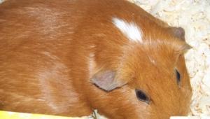 Guinea Pig Wallpaper For Computer