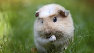 Guinea Pig For Desktop