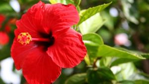 Hibiscus 4k
