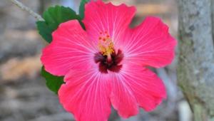 Hibiscus Desktop Images