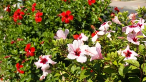 Hibiscus Free Download