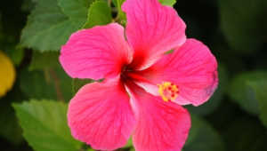 Hibiscus Wallpapers Hd
