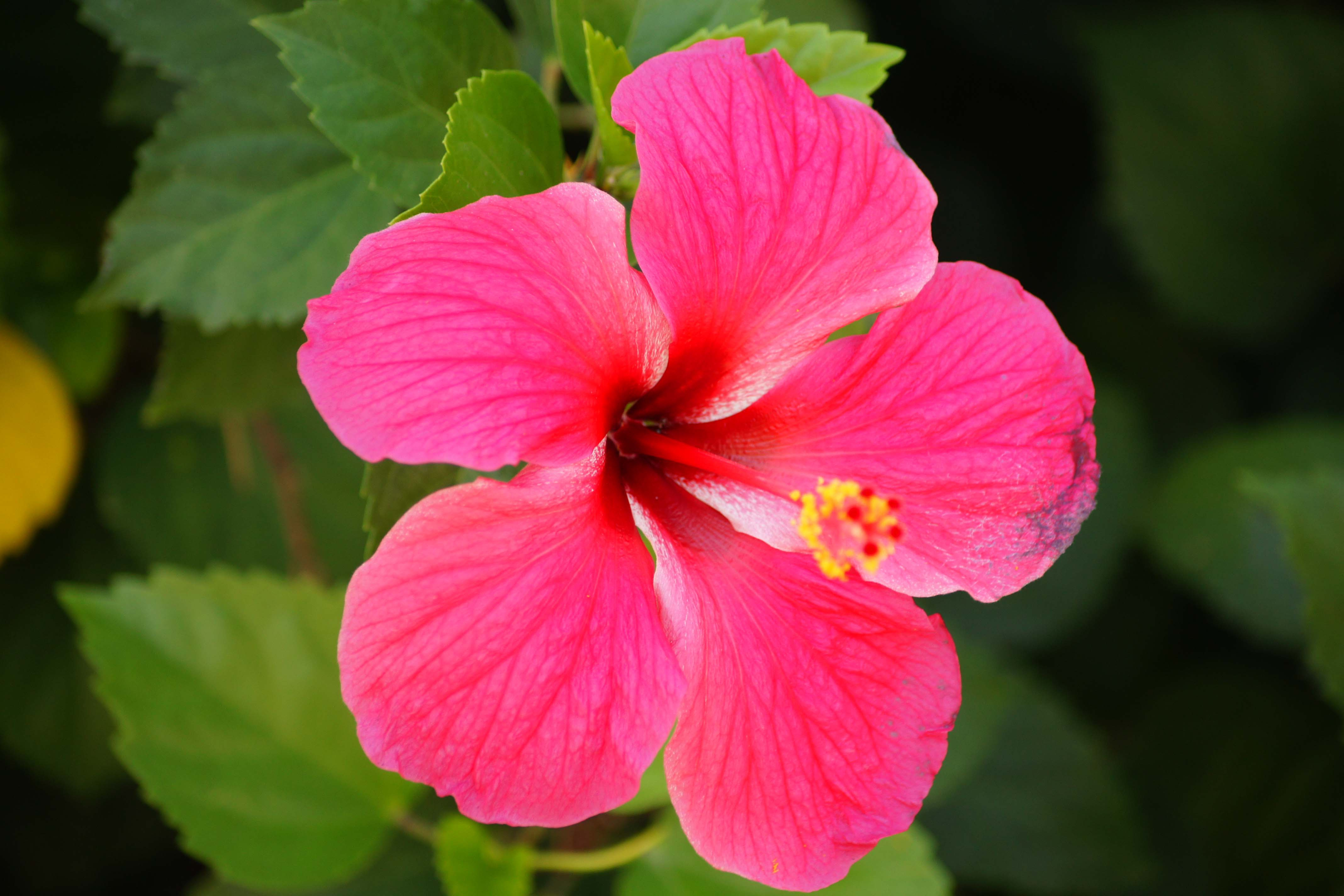 Hibiscus wallpapers hd - Hibiscus images download ...