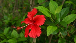 Hibiscus Wallpapers Hq