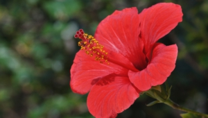 Hibiscus Full Hd