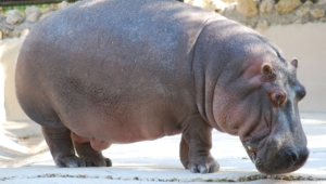 Hippopotamus Background