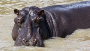 Hippopotamus Computer Backgrounds