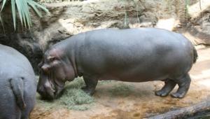 Hippopotamus Computer Wallpaper