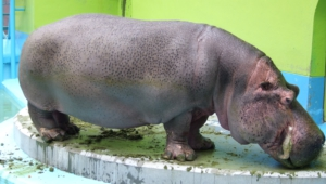 Hippopotamus Free Hd Wallpapers