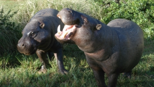 Hippopotamus Hd Pics