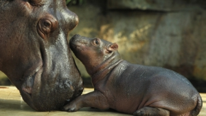 Hippopotamus Wallpaper