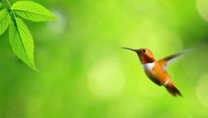 Hummingbird 4k