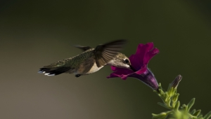 Hummingbird Computer Backgrounds