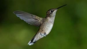 Hummingbird Wallpaper For Laptop