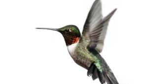 Hummingbird Full Hd