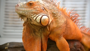 Iguana Download