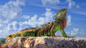 Iguana Hd Background