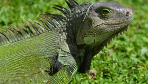 Iguana For Desktop