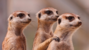 Images Of Meerkat