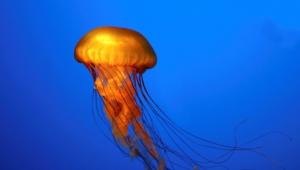 Jellyfish 4k