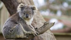 Koala Computer Wallpaper