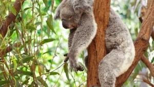 Koala Desktop