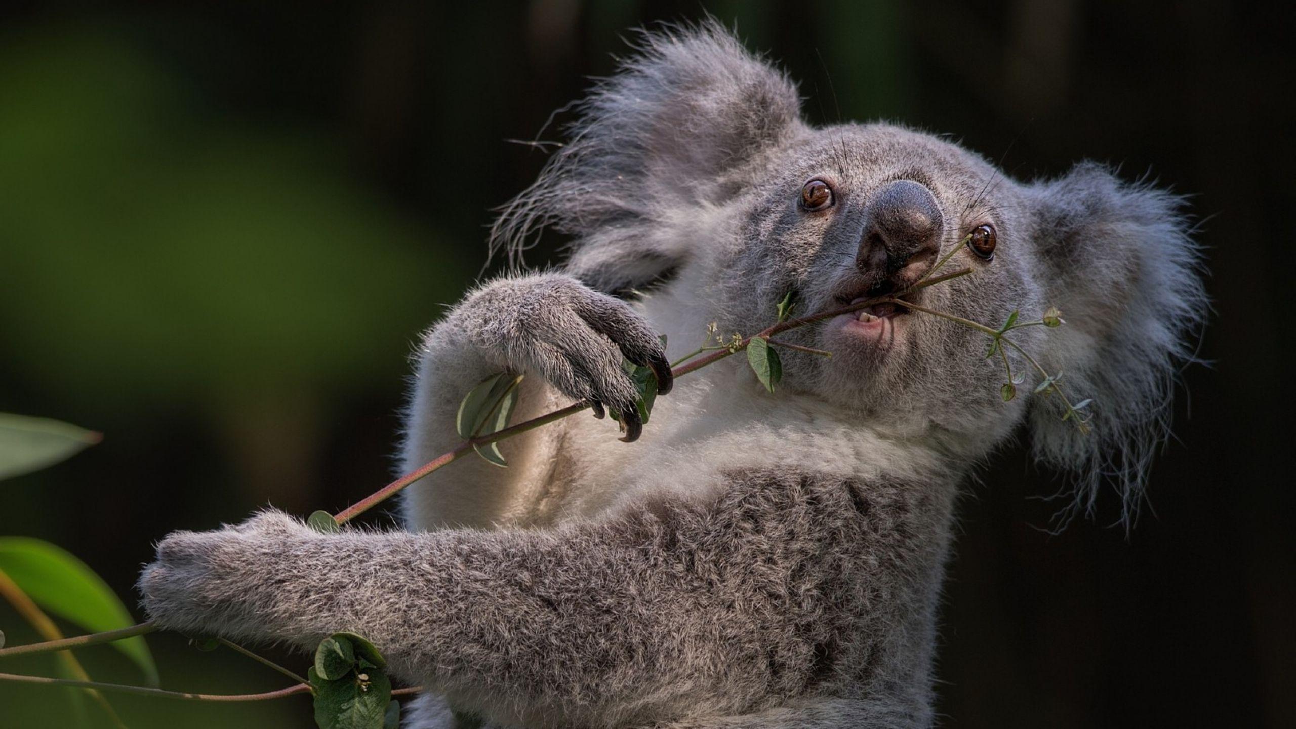 koala desktop wallpaper