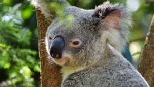 Koala Download