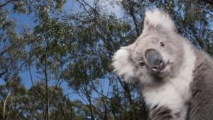 Koala Download Free Backgrounds Hd