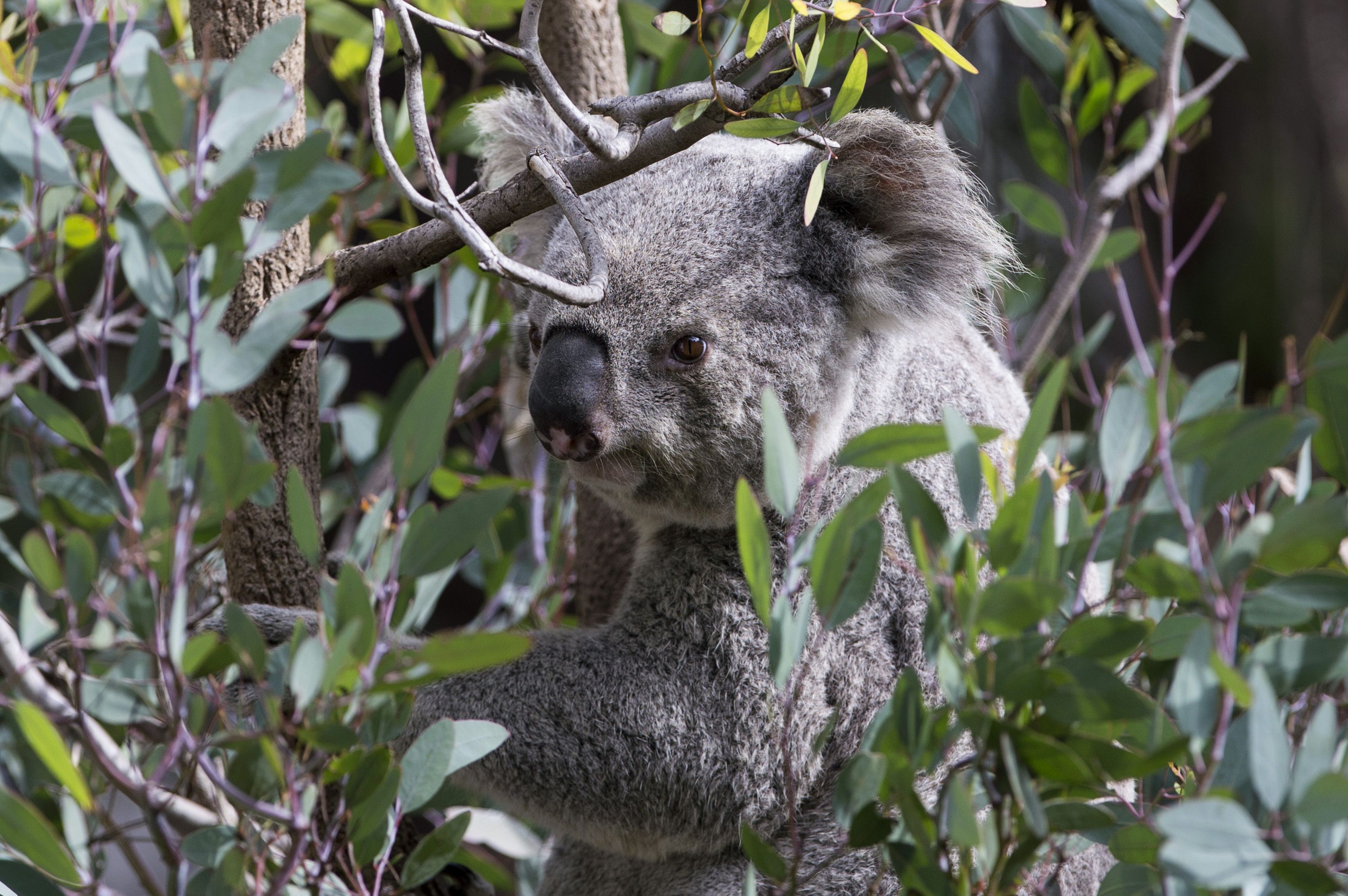koala hd background