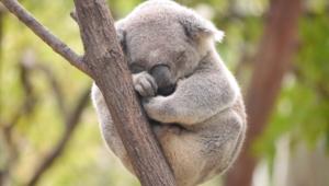 Koala Hd Pics